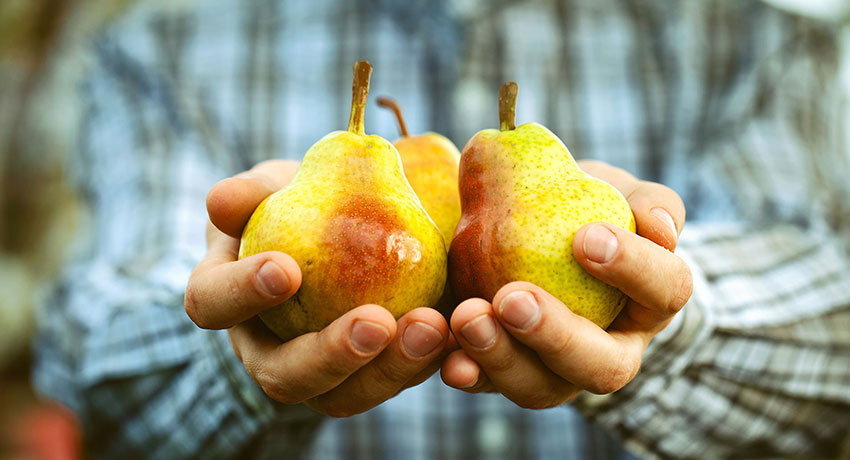 Hands holding pear in hand