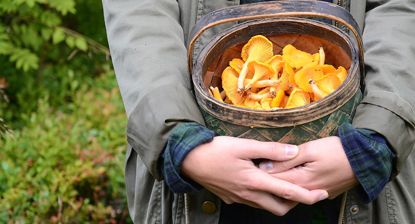 Hands holding a basket of chanterelles