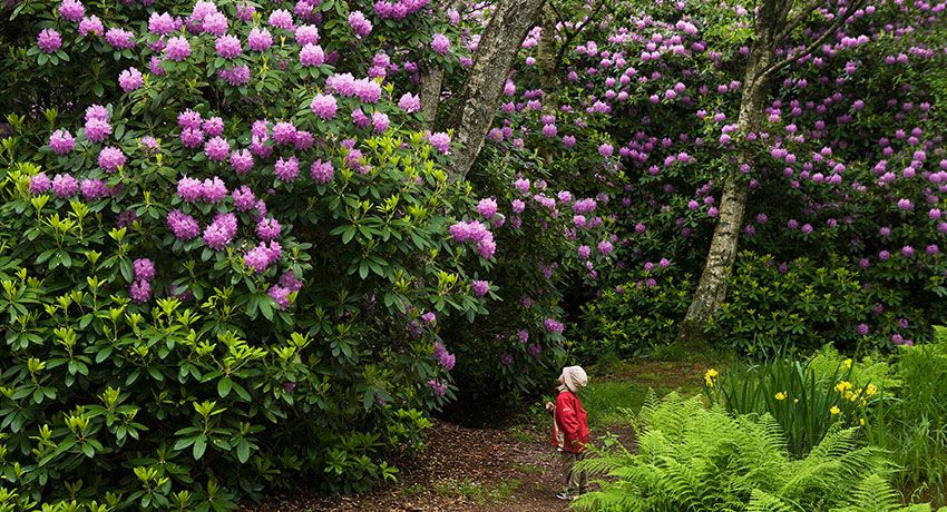 The rhododendron park in Halmstad